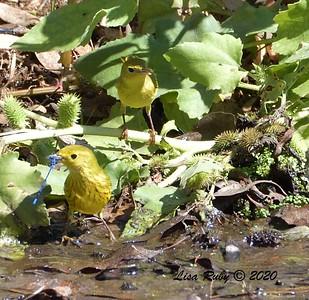 Yellow Warblers  - 9/29/2020 - Poway Creek