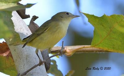 Yellow Warbler  - 9/29/2020 - Poway Creek