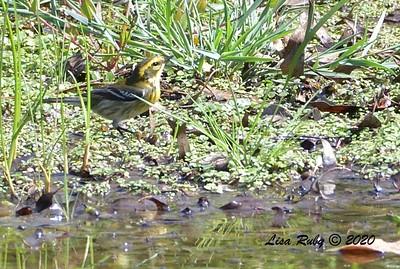 Townsend's Warbler  - 9/29/2020 - Poway Creek