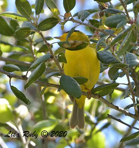bad shot of a Wilson's Warbler  -  03/27/2020 - Poway Pond, South Poway Trail, Old Pomerado Road