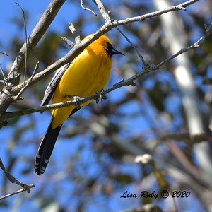 Hooded Oriole  -  03/27/2020 - Poway Pond, South Poway Trail, Old Pomerado Road