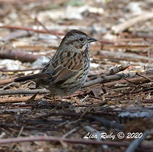 Song Sparrow  -  03/27/2020 - Poway Pond, South Poway Trail, Old Pomerado Road