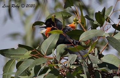 Red-winged Blackbird  -  03/27/2020 - Poway Pond, South Poway Trail, Old Pomerado Road