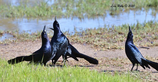 Great-tailed Grackles  -  03/27/2020 - Poway Pond, South Poway Trail, Old Pomerado Road