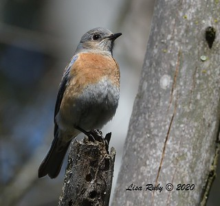 Female Western Bluebird  -  03/27/2020 - Poway Pond, South Poway Trail, Old Pomerado Road
