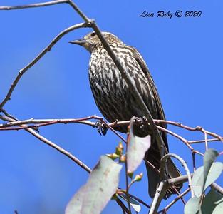 Female Red-winged Blackbird  -  03/27/2020 - Poway Pond, South Poway Trail, Old Pomerado Road