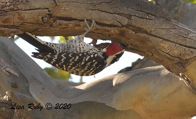 Nuttall's Woodpecker 12/4/2020 - Poway Pond