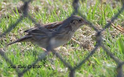 Grasshopper Sparrow  - 10/15/2020 - Robb Field