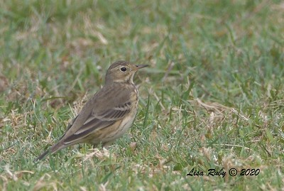 American Pipit  - 10/15/2020 - Robb Field