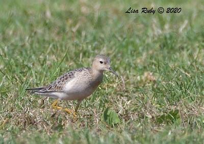 Buff-breasted Sandpiper  - 10/15/2020 - Robb Field