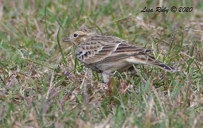 Chestnut-collared Longspur  - 10/15/2020 - Robb Field