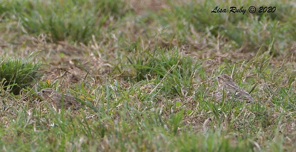 Chestnut-collared Longspurs  - 10/15/2020 - Robb Field