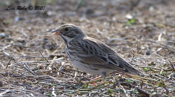 Savannah Sparrow  - 10/15/2020 - Robb Field