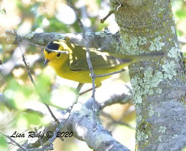 Wilson's Warbler  - 04/22/2020 - Sabre Springs Creek