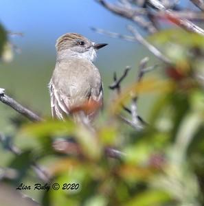 Ash-throated Flycatcher  - 04/22/2020 - Sabre Springs Creek