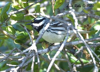 Black-throated Gray Warbler  - 04/22/2020 - Sabre Springs Creek