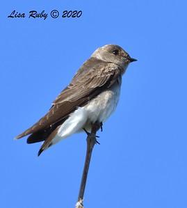 Northern Rough-winged Swallow  - 04/22/2020 - Sabre Springs Creek