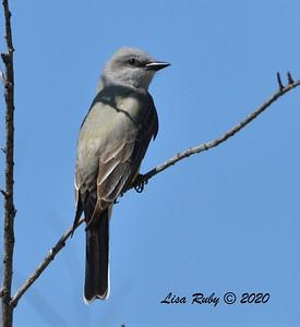 Western Kingbird  - 04/22/2020 - Sabre Springs Creek
