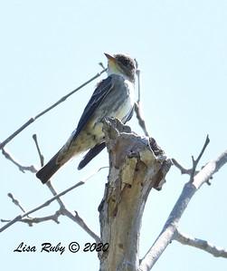Olive-sided Flycatcher  - 04/22/2020 - Sabre Springs Creek