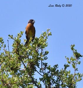 Black-headed Grosbeak  - 04/22/2020 - Sabre Springs Creek