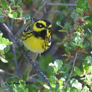 Townsend's Warbler  - 04/22/2020 - Sabre Springs Creek