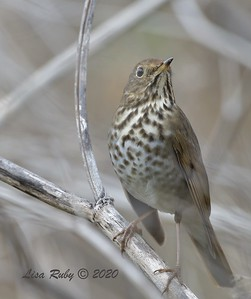 Hermit Thrush  - 12/23/2020 - Penasquitos Creek Trail, Sabre Springs