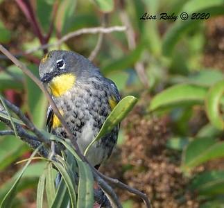 Yellow-rumped Warbler  - 10/18/2020 - Sabre Springs creek