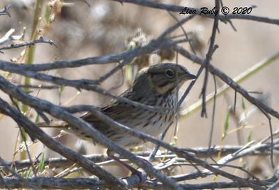Lincoln's Sparrow  - 9/27/2020 - Sabre Springs Creek