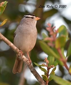 White-crowned Sparrow  - 10/18/2020 - Sabre Springs creek