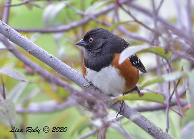 Spotted Towhee - 04/12/2020 - Sabre Springs Creek from Road