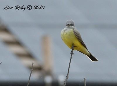 Western Kingbird - 04/12/2020 - Sabre Springs Creek from Road