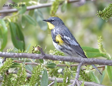 Yellow-rumped Warbler  - 3/22/2020 - Sabre Springs Creek area
