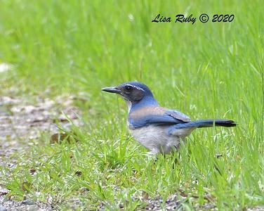 California Scrub Jay  - 3/22/2020 - Sabre Springs Creek area