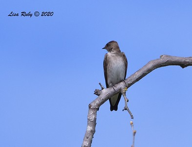 Northern Rough-winged Swallow  - 3/22/2020 - Sabre Springs Creek area