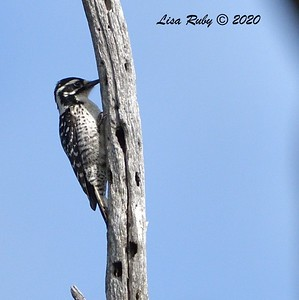 Nuttall's Woodpecker (Female)  - 3/22/2020 - Sabre Springs Creek area