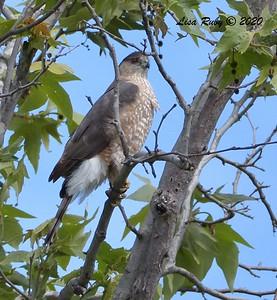 Cooper's Hawk  - 3/22/2020 - Sabre Springs Creek area