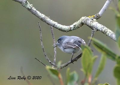 Blue-gray Gnatcatcher  - 3/22/2020 - Sabre Springs Creek area