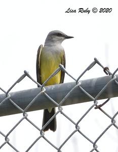Western Kingbird  - 3/22/2020 - Sabre Springs Creek area