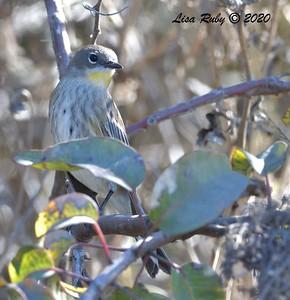 Yellow-rumped Warbler  - 11/15/2020 - Sabre Springs Hill