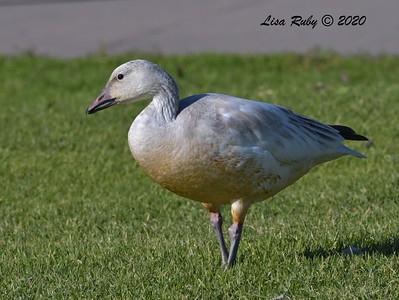 Snow Goose  - 1/1/2020 - San Diego River and Mission Bay