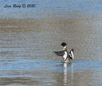 Red-breasted Merganser  - 1/1/2020 - San Diego River and Mission Bay