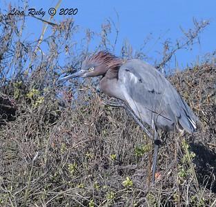 Reddish Egret  - 1/1/2020 - San Diego River and Mission Bay