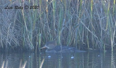 Female Hooded Merganser  - 1/1/2020 - San Diego River and Mission Bay