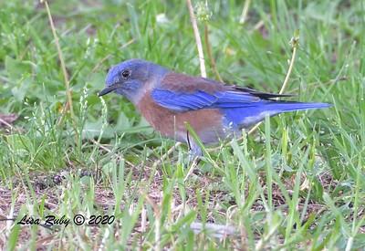 Western Bluebird - 10/6/2020 - Doyle Park