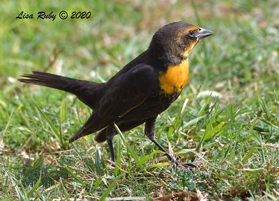 Yellow-headed Blackbird - 10/6/2020 - Doyle Park