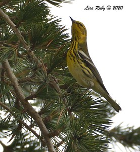 Cape May Warbler (or hybrid) - 8/6/2020 - Villa La Jolla Park