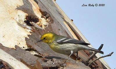 Hermit x Townsend's Warbler - 8/6/2020 - Villa La Jolla Park