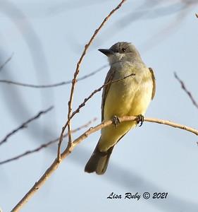 Cassin's Kingbird  -  3/12/2021 - 4S Ranch Community Park