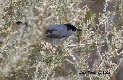 Black-tailed Gnatcatcher  - mid-April 2021 - Agua Caliente County Park