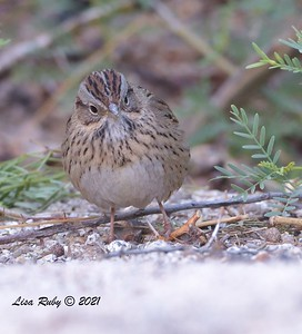 Lincoln's Sparrow  - mid-April 2021 - Agua Caliente County Park